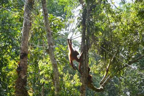 orangutans11