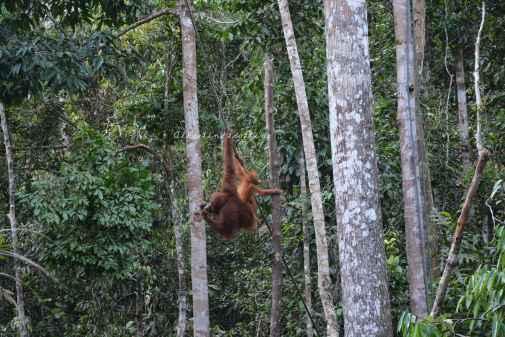 orangutans12