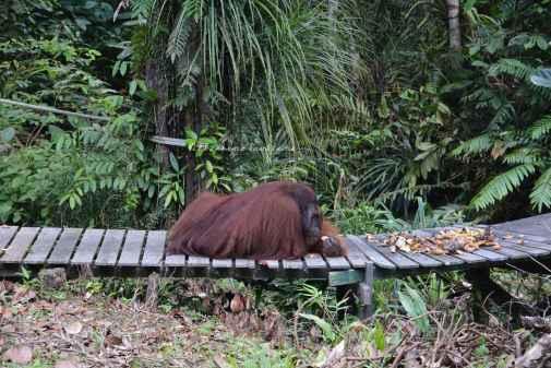 orangutans13