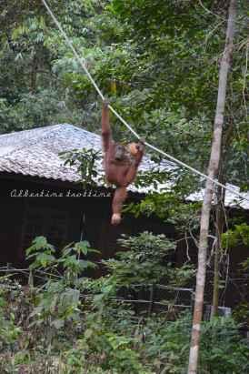 orangutans14