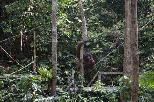 orangutans15