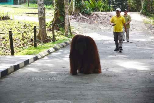 orangutans20