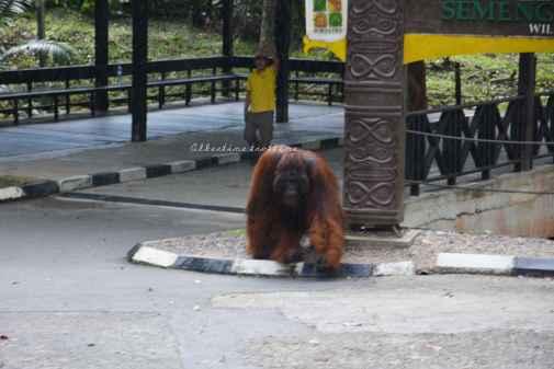 orangutans22