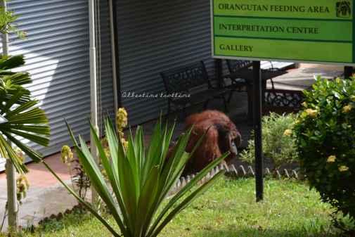orangutans23