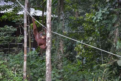 orangutans3