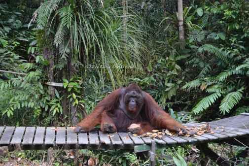 orangutans4