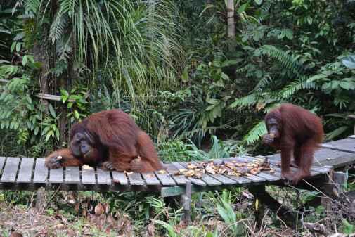 orangutans5