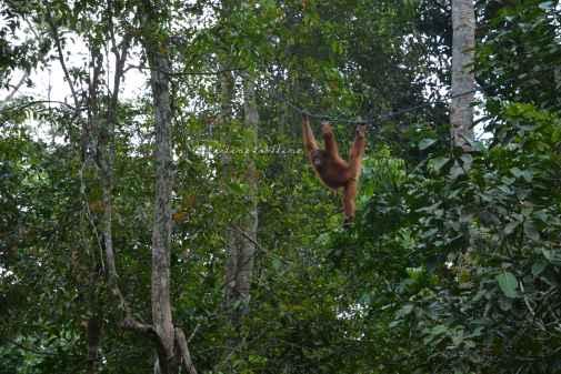orangutans6