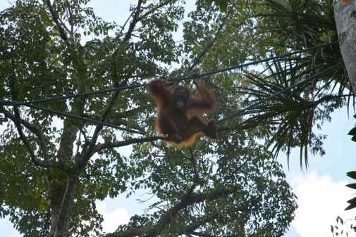 orangutans7