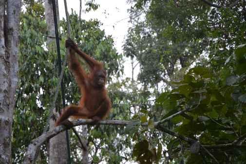 orangutans8
