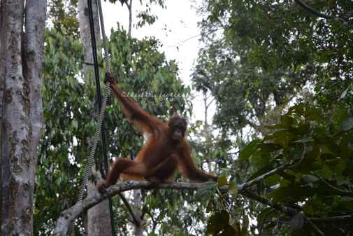 orangutans9